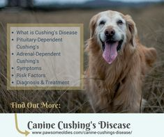 Does your old dog have Cushing's disease? Want to get more info on the symptoms and treatment of canine Cushing's? Visit this page. #olddogs #caninecushings #cushings #Doghealthtips #dogcareandhealth