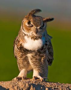 great horned owl  photo by monte stinnett