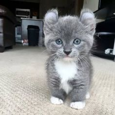 This kitten has the cutest and most unusual ears ever. I am TOTALLY in love and wish it were mine!!!