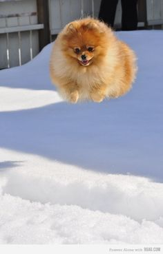 Pomeranian flying in the air! :)