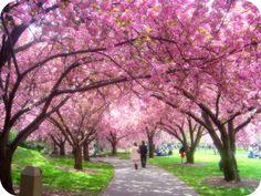 Cherry Blossom Festival in DC