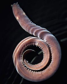 The Hagfish.  Called a living fossil since it's physiology hasn't changed in 300 million years.