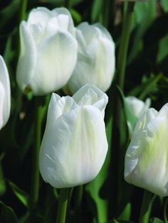 """Darwisnow - a lovely white tulip as white as snow - hence its name; one that will work with most any garden combination; one that will be beautiful with darker colored flowers; similar size and strength as a Darwin Hybrid; 14""""-18""""."""