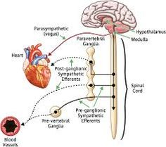 baroreceptor reflex - Google Search Triage Nursing, Merck Manual, Peripheral Nervous System, Heart Muscle, Bodily Functions, Spinal Cord, Blood Vessels, Neuroscience, Physiology