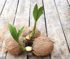 Kokospalme selber ziehen – So klappt's Pull coconut palm yourself – how it works When To Plant Vegetables, Planting Vegetables, Vegetable Garden, Balcony Plants, Garden Plants, Palm Plants, Gardening For Beginners, Gardening Tips, Palmiers