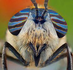 Bug-Eyed---Insects-Macro-Photographs-by-Ireneusz-Irass-Waledzik-(18)
