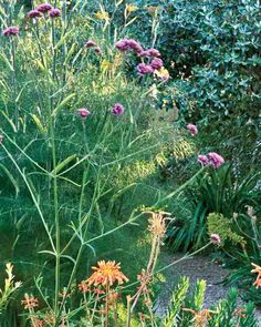 Verbena bonariensis (tall verbena) - Native to South America; Zones 7 to 11; height 2 to 5 feet; full sun. A popular and useful garden plant with purple flowers throughout the season. In colder climates, tall verbena behaves as a self-seeding annual.
