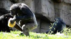 La chimpancé Chispi celebra su 27 cumpleaños junto a su familia en Bioparc Valencia   www.bioparcvalencia.es