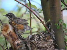 Robin nestling on the verge of fledging