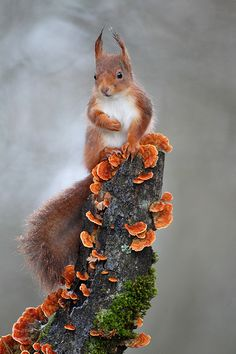 Red squirrel striking an autumnal pose here in the Celtic garden.
