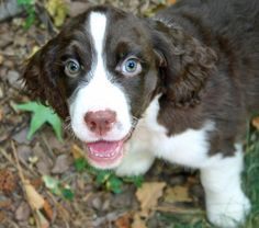 Gibson the English Springer Spaniel he looks like my Dewey & those green eyes...