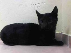 TO BE DESTROYED 12/1/14 Brooklyn Center  My name is BAILEY. My Animal ID # is A1021701. I am a male black domestic sh. The shelter thinks I am about 13 WEEKS old.  I came in the shelter as a STRAY on 11/26/2014 from NY 11418, owner surrender reason stated was STRAY.
