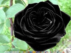 Turkish Halfeti Roses are incredibly rare.They start out a deep burgundy and fade to almost black.  They grow in only one place in the world in Turkey and their color is probably due to the Ph of the soil.