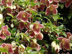 Above back door? Plants, Garden, Growing, Drought, Drought Tolerant, Flowers, Clematis