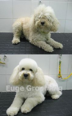 Before and after of a Poodle Dog Grooming Shop, Poodle Grooming, Cortes Poodle, Pet Spa, Dog Haircuts, Pet Hotel, Bichon Frise, Dog Friends, Best Dogs