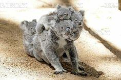 Koala mother and babies at Currumbin Wildlife Sanctuary, Queensland, Australia - 16 Feb 2016  Koala joeys cling to an adult koala 16 Feb 2016