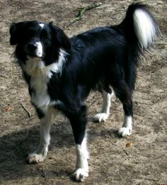 Meet Ty a Petfinder adoptable Border Collie Dog | Houston, TX | Ty: 1 yr; Sex: Male; Activity Level: Active Companion; Coat: Black/White Rough; Weight: 35 lbs.  ...