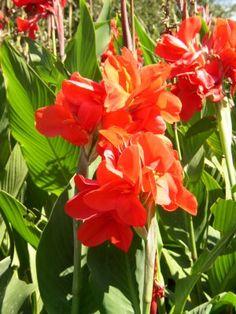 mandevilla plant care instructions