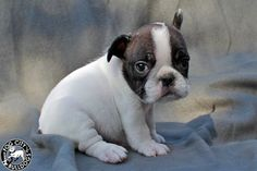 Miniature French Bulldog he will be mine one day....