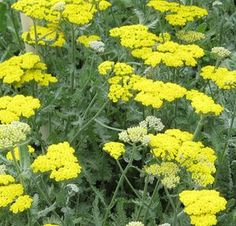 YARROW 'MOONSHINE'  Moonshine produces clusters of Sulfur-yellow flowers cap a bushy clump of soft, silvery-gray foliage. This long blooming and drought tolerant perennial is a favorite, and has a place in every sun garden