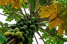 En todo el país y en el mundo, la calidad de la papaya michoacana se ha ganado el liderazgo, asegura la dependencia estatal; actualmente en la entidad se producen poco ...