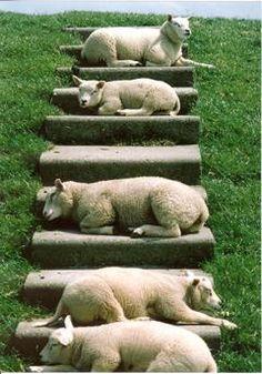Schafe auf der Insel Texel sonnen sich auf den Deichstufen///. They look like puppy dogs laying down like that! :-)