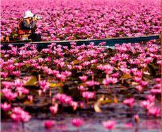 赤い蓮の海のお祭り(1月13~15日 ウドーンターニー県) | タイ国政府観光庁