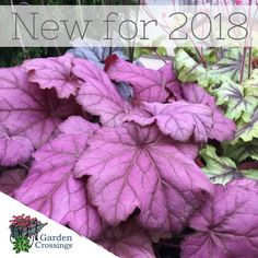 Shade gardens sometimes lack in color, here is a new Coral Bells that has super vivid foliage color. Mix PRIMO™ 'Wild Rose' in with your Hostas and Astilbe for additional color! https://loom.ly/GqD65Dc