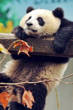 Panda Mobile Wallpaper