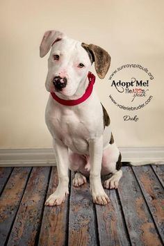 Duke is an adoptable Pit Bull Terrier searching for a forever family near Easton, PA. Use Petfinder to find adoptable pets in your area.