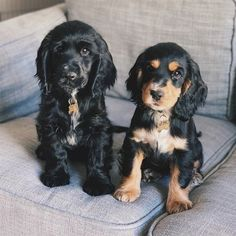 14 Incredible Things About American Cocker Spaniels Cocker Dog, Cocker Spaniel Rescue, Puppies And Kitties, Cute Puppies, Cute Dogs, Doggies, Working Spaniel, Pug, American Cocker Spaniel