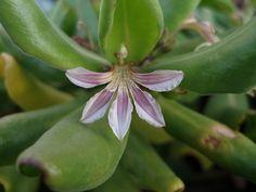 Naupaka kahakai (Scaevola taccada) by Jupiter Nielsen, via Flickr