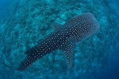 The whale shark may live up to 150 years, making it one of the longest-living creatures on Earth...