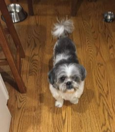 Meet JuJu, a sweet 7 year old, 18 lb. shih tzu who is looking for her forever home.  JuJu didn't have an easy start in life, and as a result she is blind in one eye, but this doesn't stop her from living life to the max!  JuJu loves other dogs, and...