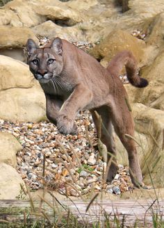 Jumping Puma    by AnthonyGurr