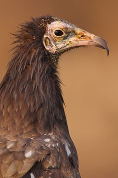 The Egyptian Vulture (Neophron percnopterus)