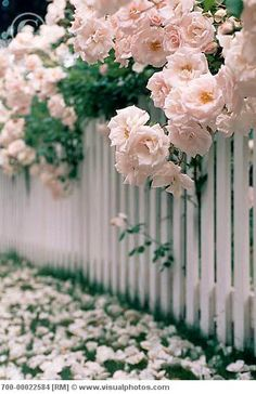 cascading roses over a white picket fence