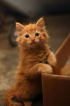 Ginger kitten  I want one....................