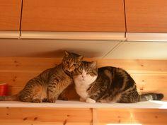 CyBeRGaTa - Cats, Memes, New Mexico - Hana Loves Maru