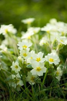 Common wild primrose - perfect for the woodland floor. Rosettes of evergreen leaves all year round with a profusion of creamy white flowers from spring to early summer.