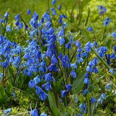 Ein intensives Blau - damit begeistert Scilla siberica Hobbygärtner und Zwiebelblumenfans. Gepflanzt wird sie als Blumenzwiebel im Herbst. Online erhältlich bei www.fluwel.de