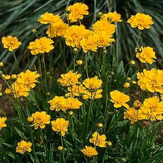 (Coreopsis grandiflora)Often grown as an annual, the hairless stems on this species let the flower take center stage. The 3- to 5-inch-diameter gold to yellow flowers bloom from late spring to late summer. Rich-yellow 'Early Sunrise' has semi-double flowers with splotchy orange-yellow centers from May to August.Grows 18 to 24 inches tall and wide in USDA Hardiness Zones 4 to 9; full sun.