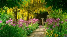 Laburnum aka Golden Chain Tree. Looks very much like wisteria. Beautiful and ethereal with the alliums. <3