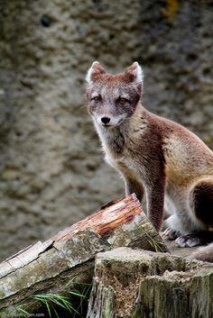 arctic fox stare by Shannon Kringen