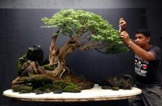 Bonsai- a great perspective , showing off the size of this beautifully trained Tree.