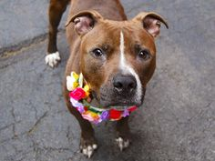 ZEPPOLI - A1039629 - TO BE DESTROYED  06/30/15  A volunteer writes: You may know Zeppoli ... http://nycdogs.urgentpodr.org/zeppoli-a1039629/…