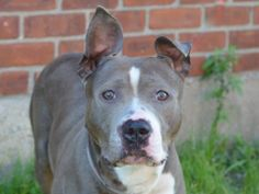 TO BE DESTROYED - 06/09/14 Brooklyn Center -P  My name is DUECE. My Animal ID # is A1001629. I am a female blue and white amer bulldog mix. The shelter thinks I am about 4 YEARS old.  I came in the shelter as a OWNER SUR on 05/31/2014 from NY 11213, owner surrender reason stated was MOVE2PRIVA.