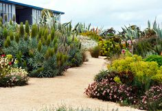 Huge clumps of Agave americana, with its distinctive pointy leaves, combine well with the lime-green heads of Euphorbia and the bold pink flower spires of sprawling Echium, while Gazanias provide a pretty border in the foreground. South Australian water-wise garden