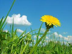 """Bylinky– """"manuál pro čarodějnice"""" - Vitalia.cz Plants, Dandy, Lions, Lion, Dandy Style, Plant, Planets"""