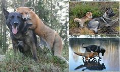 Zij zijn de echte leven vos en hond, hun ontroerende relatie bewijst dat vriendschap kan overleven ondanks achtergrond en sociale druk, of in het geval van deze twee, natuurlijke instincten. Sniffer de wilde vos en Tinni de binnenlandse hond ontmoet bij toeval een dag in de bossen van Noorwegen en hun zeer onwaarschijnlijke vriendschap bloeide. Tinni de eigenaar die woont in het bos met zijn hond, is fotograaf Torgeir Berge en is hij bij de hand om elke hartverwarmend moment tussen de twee…